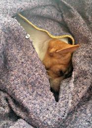 harley napping