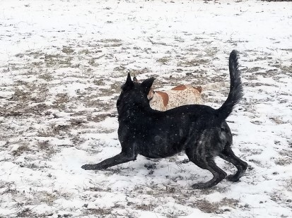 These three photos show dogs engaged in appropriate greeting. In this one the larger dog does a play bow. He lowers his body in an attempt to engage the other dog.